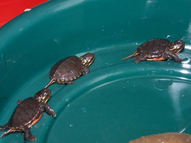 Baby Pet Water Turtles Painted turtle laying eggs